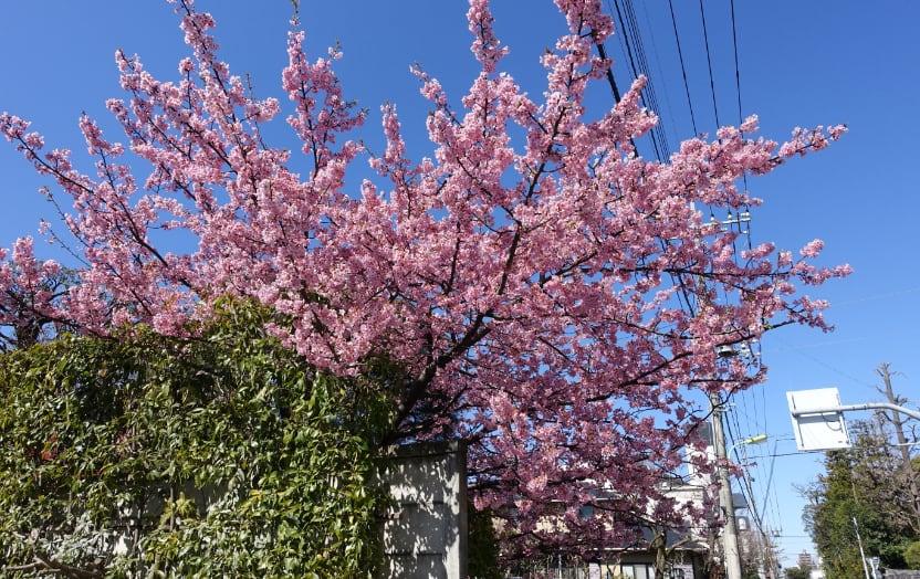 駐車場の河津桜